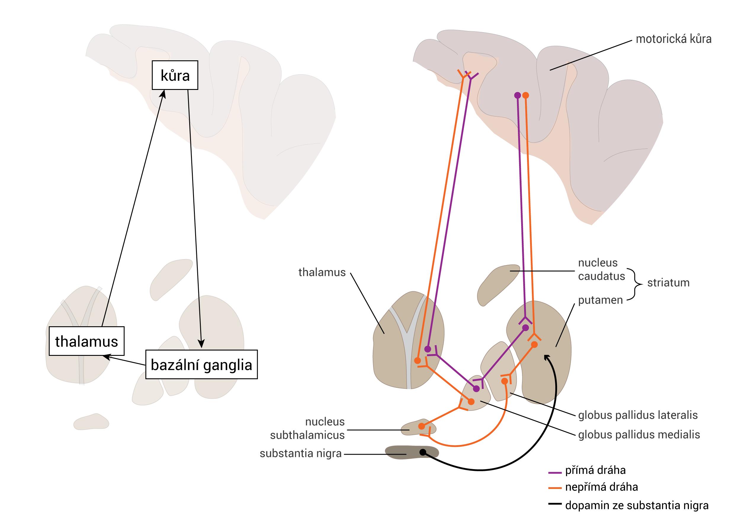Dráhy bazálních ganglií